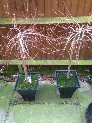 pair of healthy willow trees