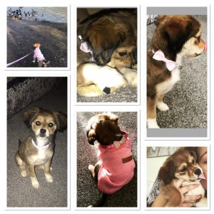 Narla is £500 she's been chipped and had all vaccinations, narla comes with her all accessories! Including bed, lead&collar, coats, food, and toys pm for more details xxx