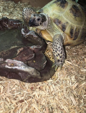 Two Horsefield tortoises - includes full set up