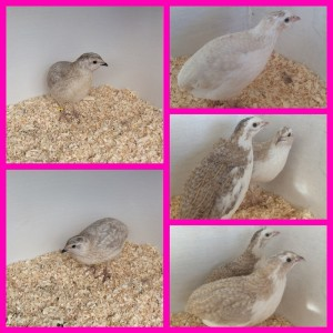 Japanese Quail hatching eggs for sale